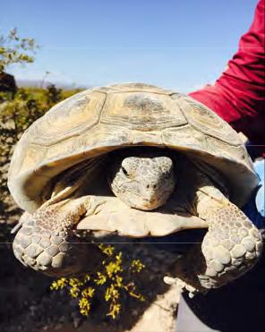A BEC Environmental Biologist holds an endangered Mojave desert tortoise