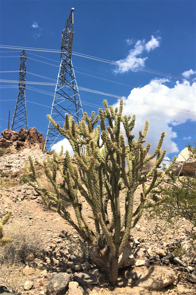 A large cholla cactus is in the foreground of a scenic desert where high-voltage power lines stand