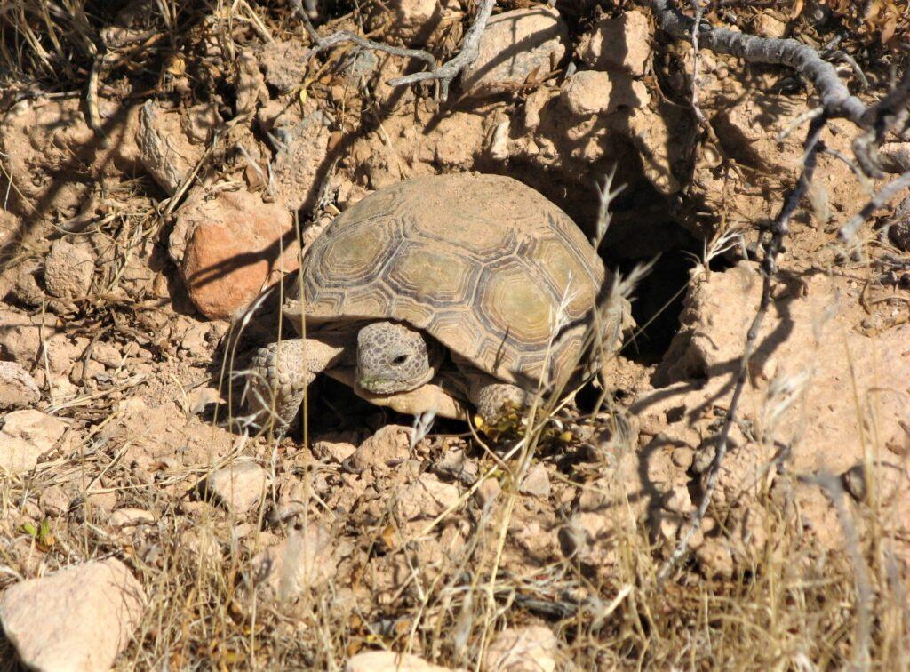 Mojave desert tortoise emerging from its burrow